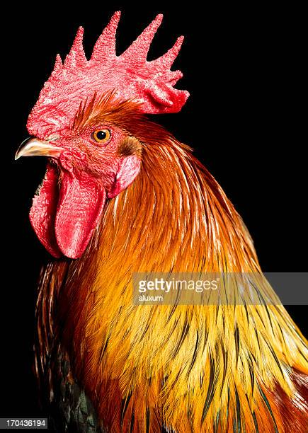 rooster - cockerel stock pictures, royalty-free photos & images