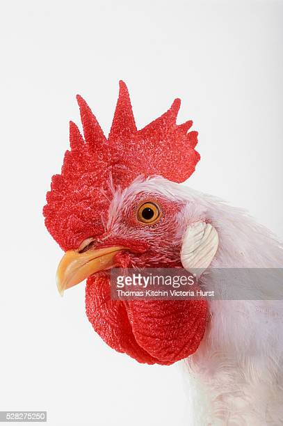 rooster. - funny rooster stock photos and pictures