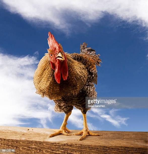 rooster - gallo foto e immagini stock