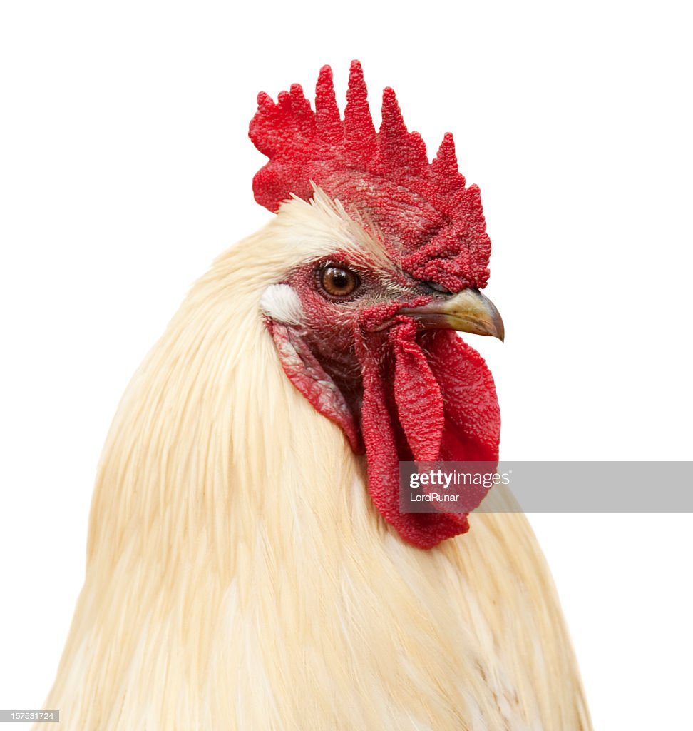 Rooster portrait : Stock Photo