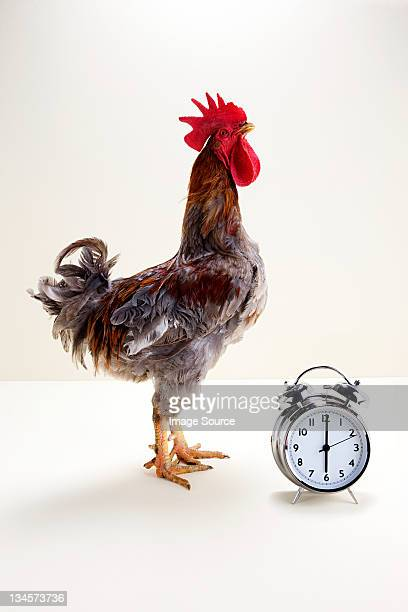 rooster standing near alarm clock, studio shot - rooster stock pictures, royalty-free photos & images