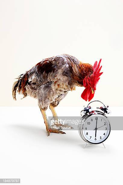 rooster standing near alarm clock, studio shot - funny rooster stock photos and pictures