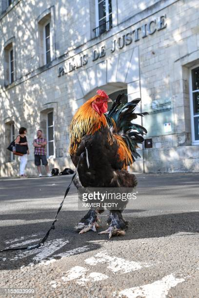 A rooster stands outside the high court in Rochefort western France on July 4 2019 where the justice is set to rule on whether a lively cockerel...