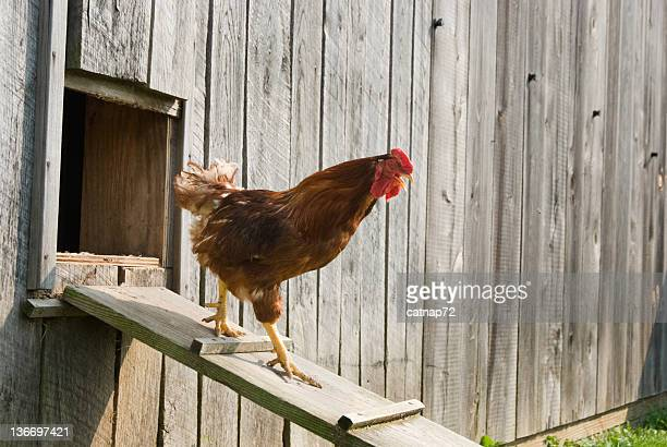 rooster walking down chicken house ramp, big boss bird - chicken coop stock pictures, royalty-free photos & images