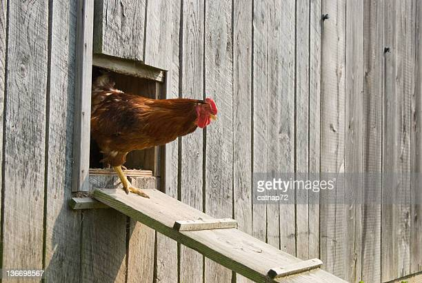 rooster walking from chicken house - chicken coop stock pictures, royalty-free photos & images