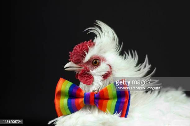 rooster with colorful bow tie - funny rooster ストックフォトと画像
