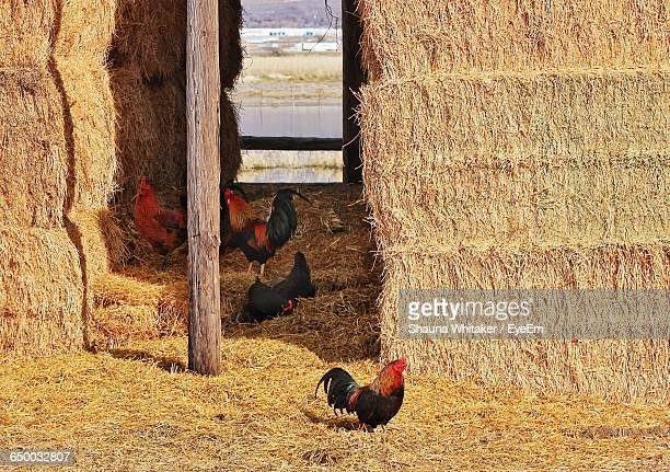Roosters And Hens At Farm