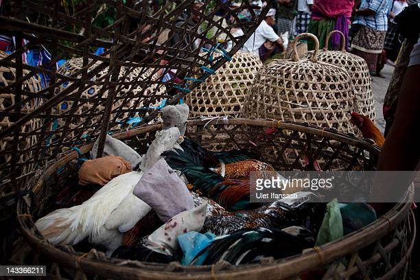 Roosters are held in a basket for sale by traders for cockfighting during the sacred 'Aci Keburan' ritual at Nyang Api Temple on February 16 2012 in...
