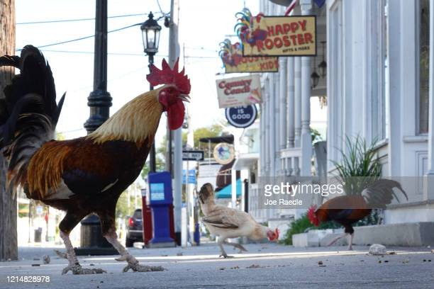 Roosters are seen along an empty Duval street which would normally be teeming with tourists on the last week of spring break as the city government...