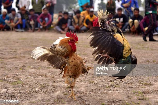 Roosters attack each other during a cockfight as part of Udpur festival near Dharamtul in Morigaon District of Assam , India on Jan 19,2021.