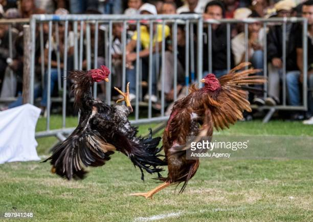 Roosters attack each other in a fight in Antananarivo Madagascar on December 24 2017 Locals breed roosters with caution and fight them for fun and...
