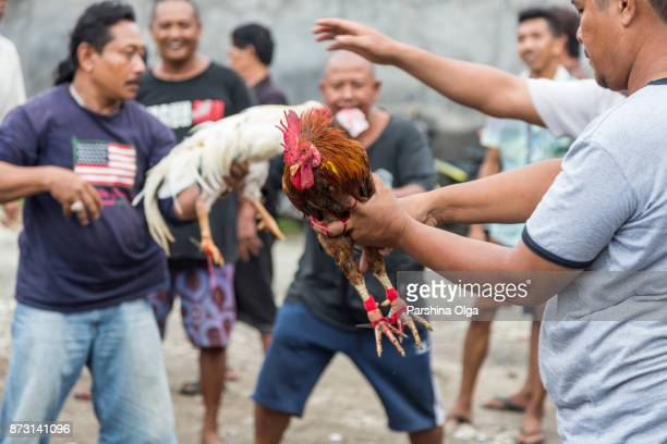 roosters fight. bali, indonesia - cockerel stock pictures, royalty-free photos & images