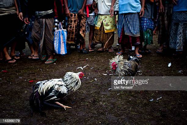 Roosters fight during the sacred 'Aci Keburan' ritual at Nyang Api Temple on February 13 2012 in Gianyar Bali Indonesia Cockfighting in Bali known as...