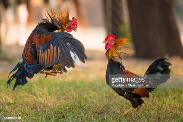 2 092 Rooster Fight Photos And Premium High Res Pictures Getty Images