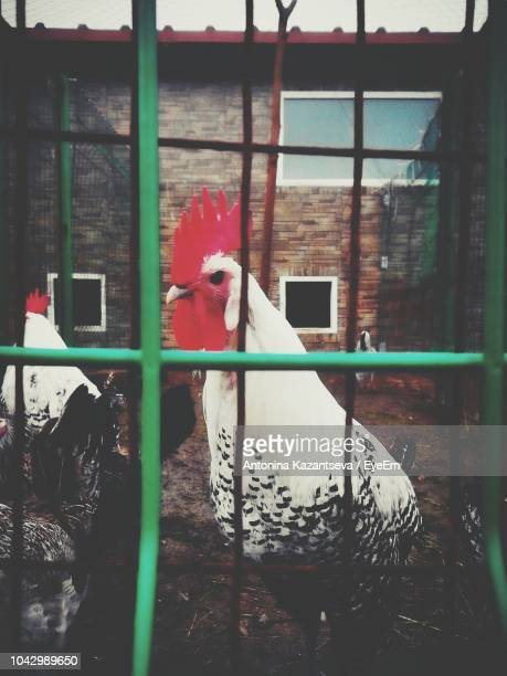 Roosters In Cage