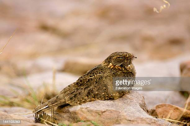 Roosting Nightjar Or Common Indian Nightjar Caprimulgus Asiaticua Ranthambore Tiger Reserve National Park Rajasthan India