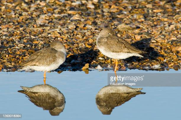 Roosting Redshank, Tringa totanus, Snettisham RSPB Reserve The Wash North Norfolk, UK.