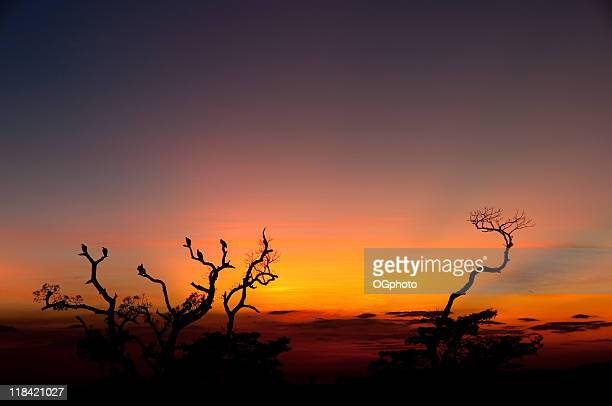 roosting tree at sunset - ogphoto stock pictures, royalty-free photos & images