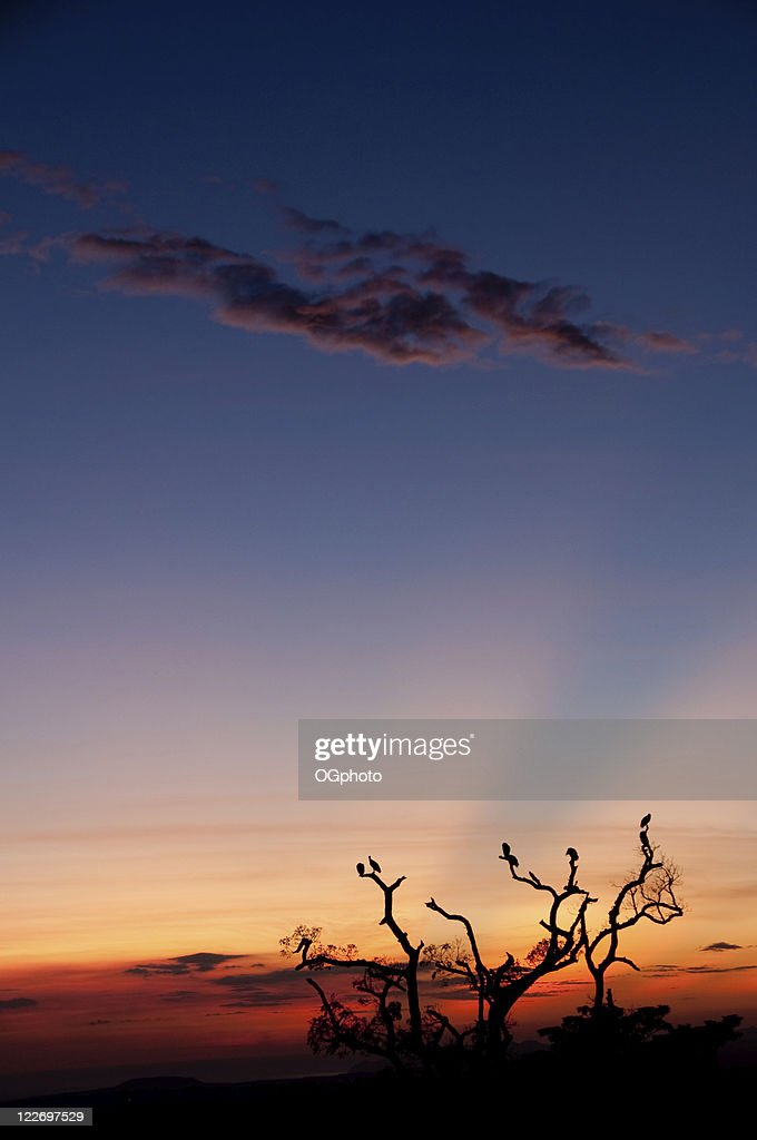 Roosting tree at sunset : Stock Photo