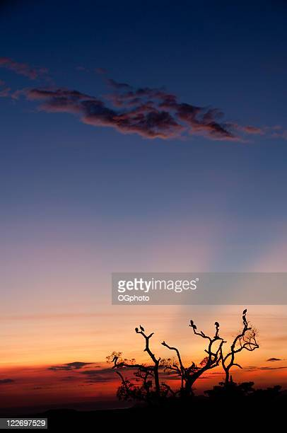 roosting tree at sunset - ogphoto stock photos and pictures