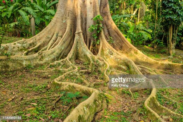 root and base of a tree at el gallineral park - stability stock pictures, royalty-free photos & images