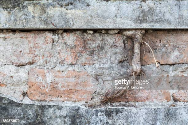 Root and old, aged and rough bricks between concrete wall.