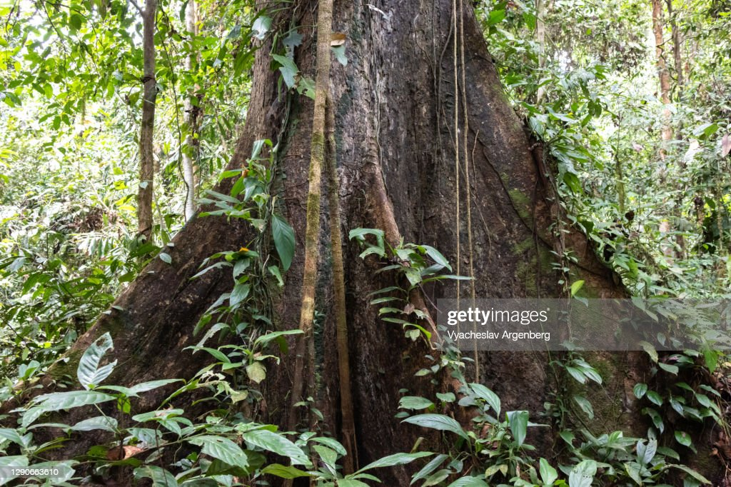 Root of a tree, tropical rainforest, Borneo, Malaysia : ストックフォト
