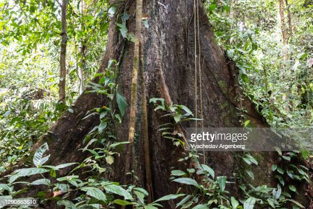 root of a tree, tropical rainforest, borneo, malaysia - dipterocarp tree stock pictures, royalty-free photos & images