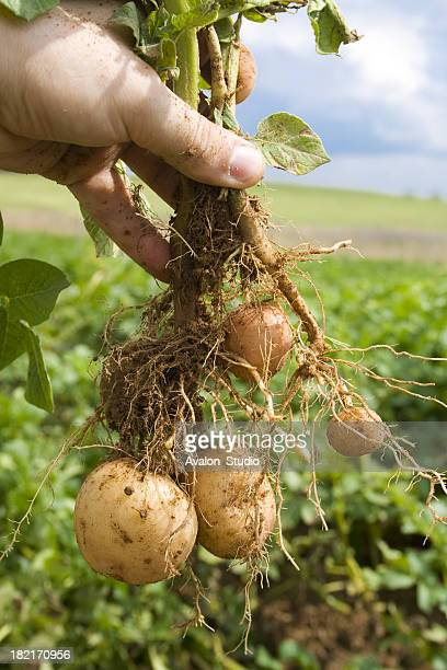 Root potato with mature tubers