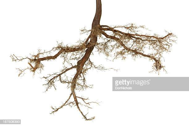 roots isolated - origins stock pictures, royalty-free photos & images