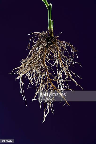 roots of a rose bush - root stock pictures, royalty-free photos & images