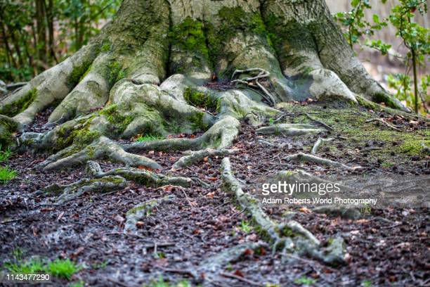 roots of oak tree and vegetation - bigfoot stock pictures, royalty-free photos & images