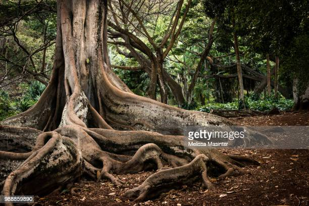 roots of old tree - tree roots stock pictures, royalty-free photos & images