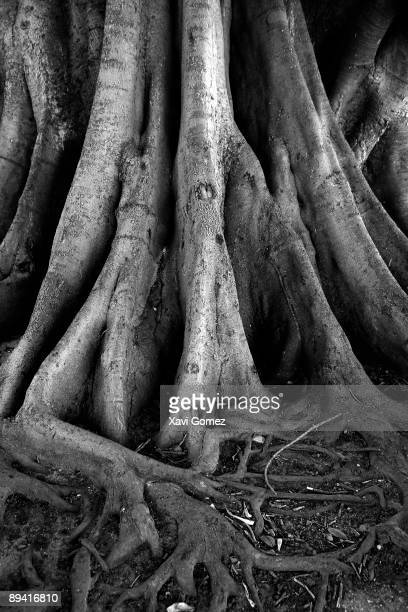 Roots of tree