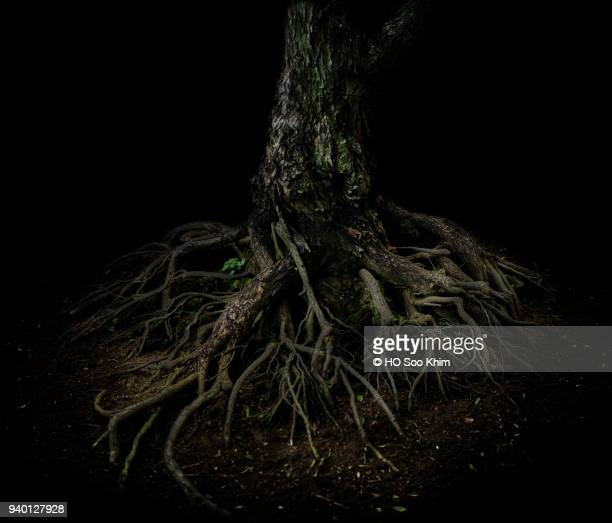 roots of tree - tree roots stock pictures, royalty-free photos & images