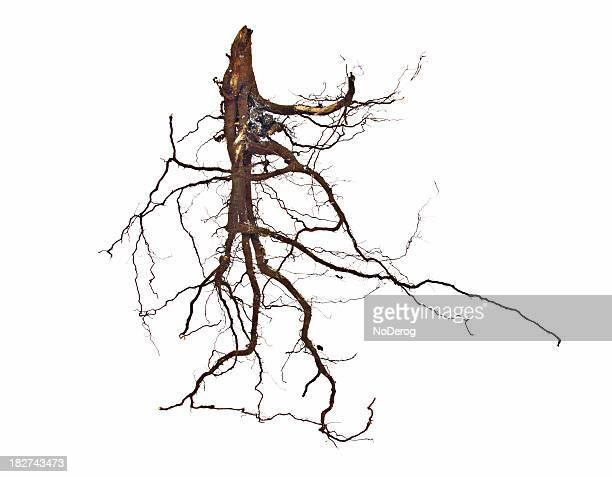 roots on white - root stock pictures, royalty-free photos & images