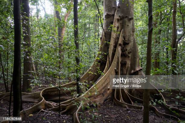 roots - sulawesi fotografías e imágenes de stock