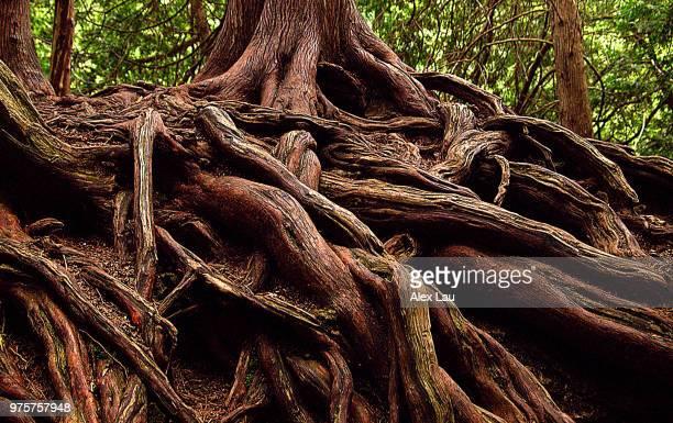roots - conifera foto e immagini stock
