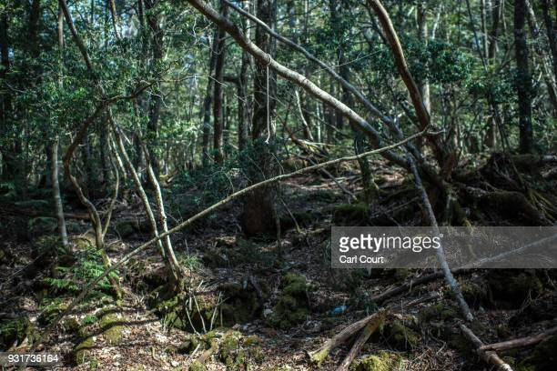 A rope remains tied to a tree at the scene of an apparent suicide in Aokigahara forest on March 13 2018 in Fujikawaguchiko Japan Aokigahara forest...