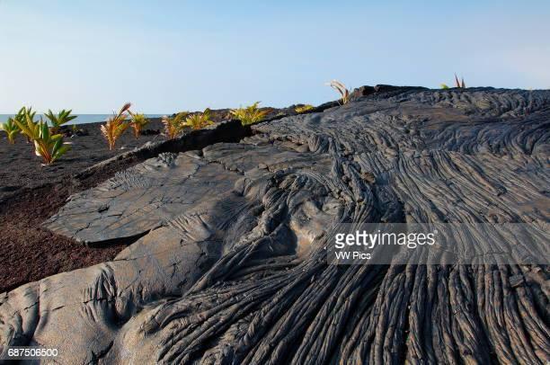 Ropy Pahoehoe Lava from Kilauea Eruption and newly planted Palm Trees Kaimu Beach at Kalapana Black Sand Beach Kaimu Bay Puna District Big Island of...