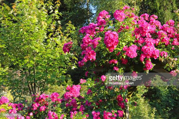 Rosa American pillar on rose arch in garden.