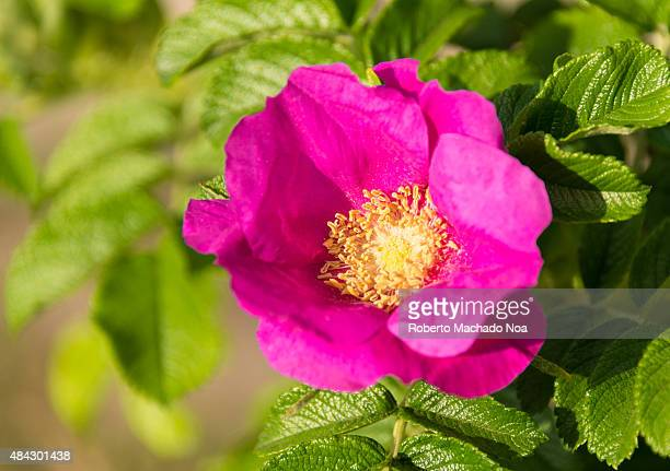 Rosa canina with green leaves on a blurry background Flower wild rose on sunny day Rosa canina commonly known as the dogrose is a variable climbing...