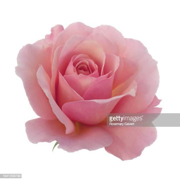 rosa 'congratulations' in close-up in white square. - rose foto e immagini stock