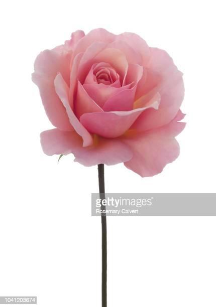 rosa 'congratulations' with stem on white. - 茎 ストックフォトと画像