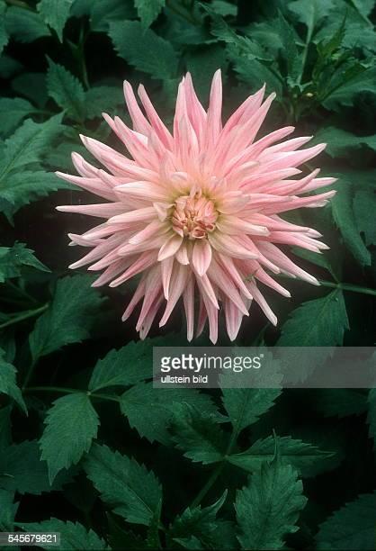 rosa Dahlie 1996