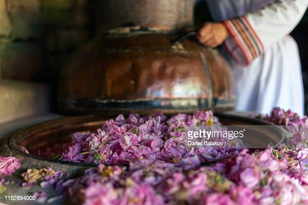 rosa damascena. essential oil production season is now. the abundance of the famous bulgarian rose is in its peak. - rose colored stock pictures, royalty-free photos & images
