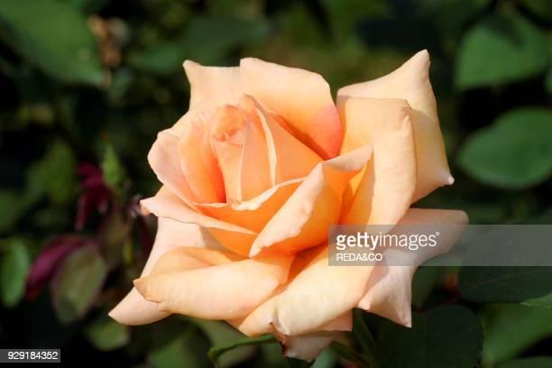 Rosa floribunda 'Maria Theresa'