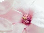 rosa Magnolie