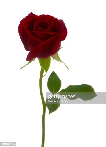 Rosa Royal William, deep red rose bud & leaf on white,