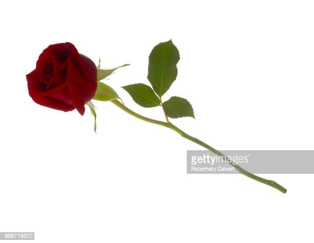 Rosa Royal William, fragrant red rose bud & leaf on white.